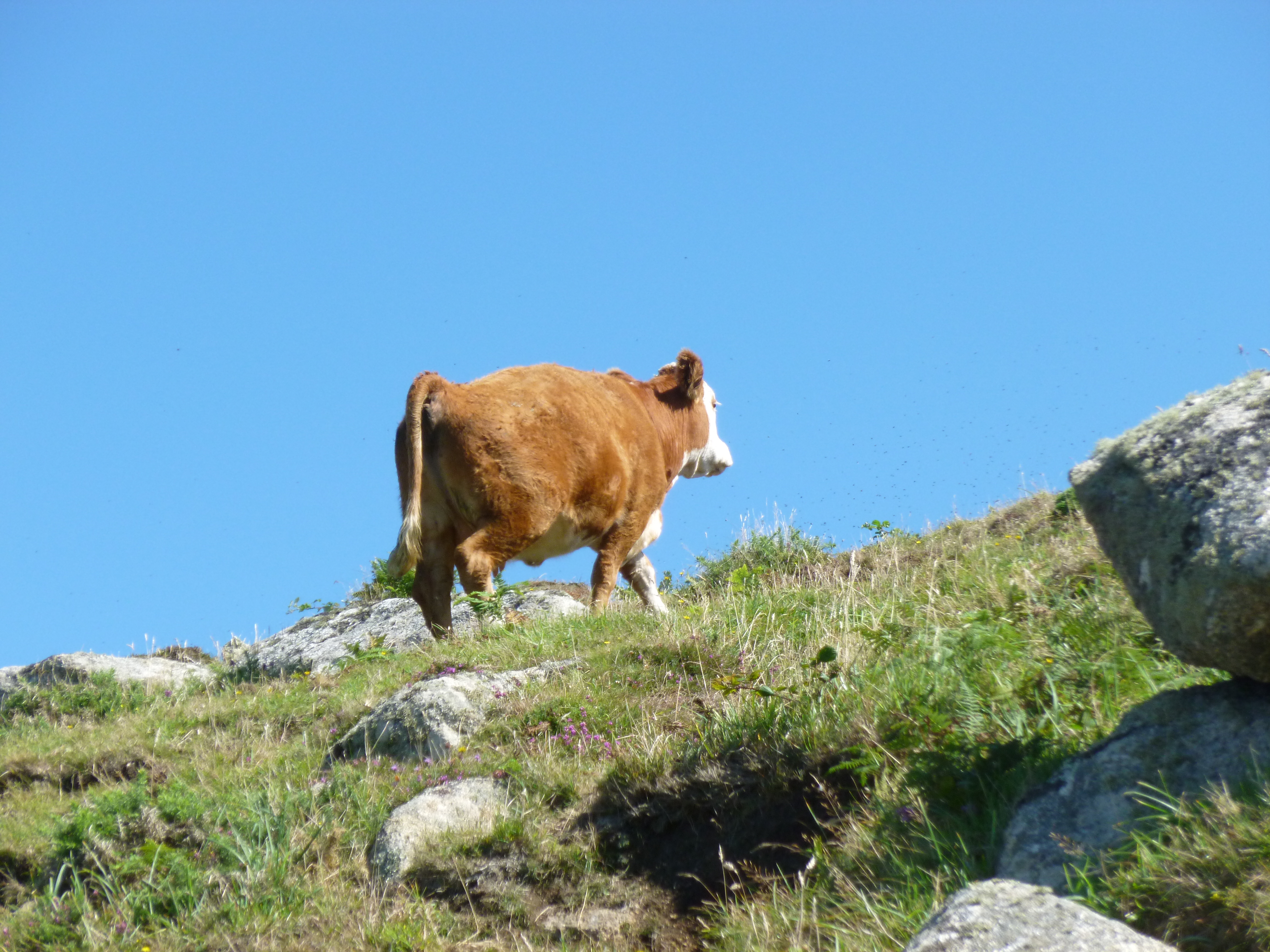 Cow climbing hill